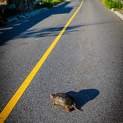 A snapping turtle, Chelydra serpentina, crosses a road in Plymouth, Massachusetts.