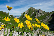 Alpine yellow composite wildflowers bloom at Meglisalp near Bötzel pass in the Alpstein limestone range, Appenzell Alps, Switzerland, Europe. The aster, daisy or sunflower family (Asteraceae or Compositae) is the largest family of vascular plants. Appenzell Innerrhoden is Switzerland's most traditional and smallest-population canton (second smallest by area).
