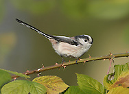 Long-tailed Tit Aegithalos caudatus L 14cm. Delightful, long-tailed bird with an almost spherical body. Seen in acrobatic flocks. Sexes are similar. Adult looks overall black and white but note pinkish chestnut patch on shoulders and whitish feather fringes on otherwise black back and wings. Head is mainly whitish with black band above eye; underparts are whitish, suffused pink on flanks and belly. Bill is dark, short and stubby. Juvenile is similar but duller and darker. Voice Utters rattling tsrrr contact call and thin tsee-tsee-tsee. Soft, twittering song is easily missed. Status Common resident of deciduous woodland, scrub and heathland fringes.