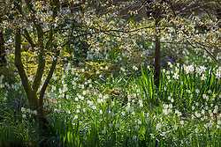 White snakeshead fritillaries - Fritillaria meleagris - growing under Amelanchier × grandiflora 'Forest Prince' - smooth serviceberry - in John Massey's garden at Ashwood Nurseries.