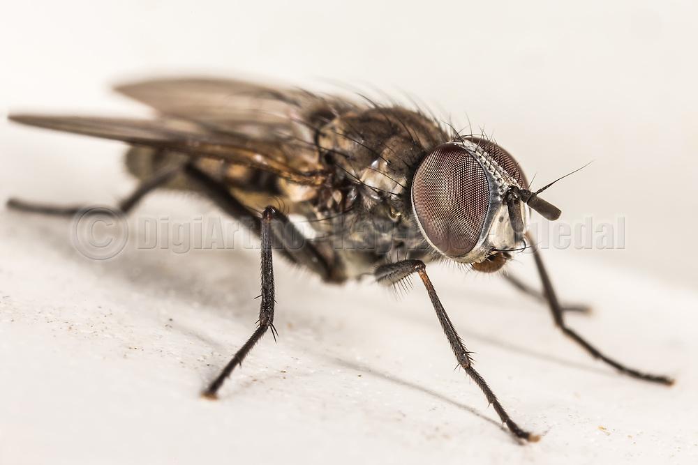 It is funny to se that even the tiniest fly has many strange details on their body | Det er morsomt å se at selv den minste flue har mange rare detaljer på kroppen sin