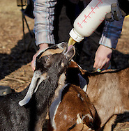 Cornwall, New York  - A person feeds a baby dairy goat with a bottle at Edgwick Farm on Feb. 4, 2012. ©Tom Bushey / The Image Works