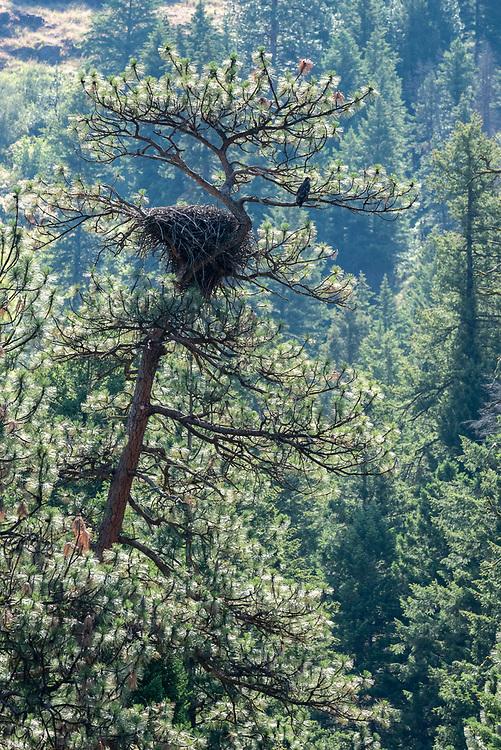Osprey, Grande Ronde River, Oregon.