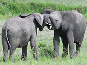 Two young African elephants (Loxodonta  africana) entwine trunks in greeting. Serengeti National Park, Tanzania.