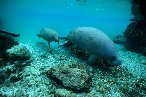 West Indian Manatee, (Trichechus manatus) Cow and calf in fresh waters spring. Florida.