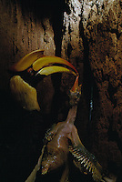 Great Hornbill (Buceros bicornis) female inside her nest cavity in a hollow tree, with chick.  Female passes food brought by the male  to chick.  IUCN Red List: Near Threatened.