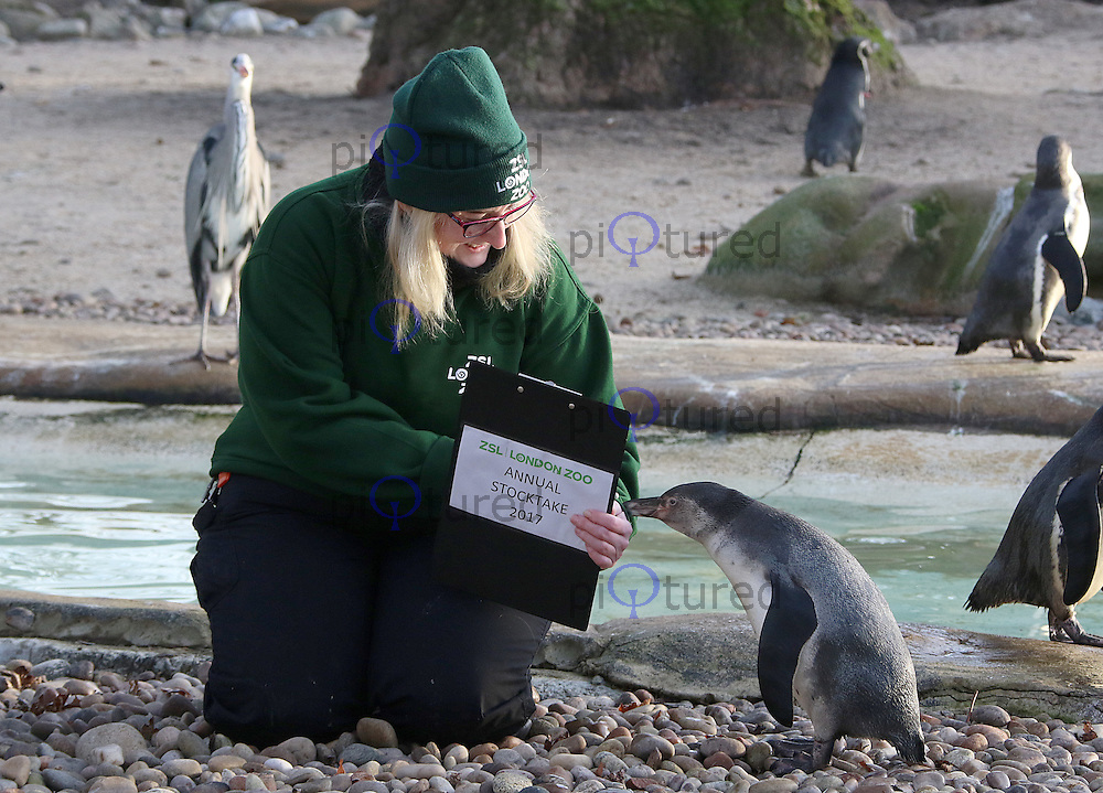 Penguins, ZSL London Zoo - Annual Stocktake 2017, London UK, 03 January 2017, Photo by Brett D. Cove