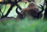 European Bison (Bos Bonasus), Kennemerduinen National Park, Kraansvlak, The Netherlands. Enclousure in a fenced reserve, 250 hectar, in Kennemerduinen National Park.