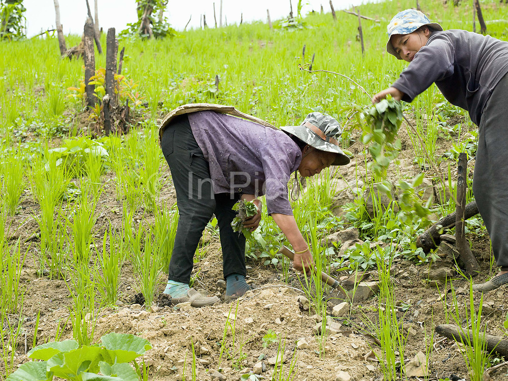 Two Phunoi women weeding an upland rice field, Ban Phou Soum, Phongsaly province, Lao PDR. In swidden cultivation the rice field needs to be weeded by hand several times during the rainy season which is a very time consuming and laborious task undertaken mainly by women and children.