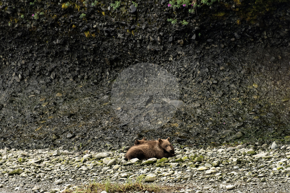 Grizzly bear cubs rest along the lower lagoon at the McNeil River State Game Sanctuary on the Kenai Peninsula, Alaska. The remote site is accessed only with a special permit and is the world's largest seasonal population of brown bears.