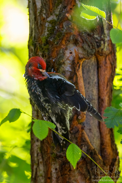 A red-breasted sapsucker (Sphyrapicus ruber) preens itself while clinging to an elm tree in Snohomish County, Washington.