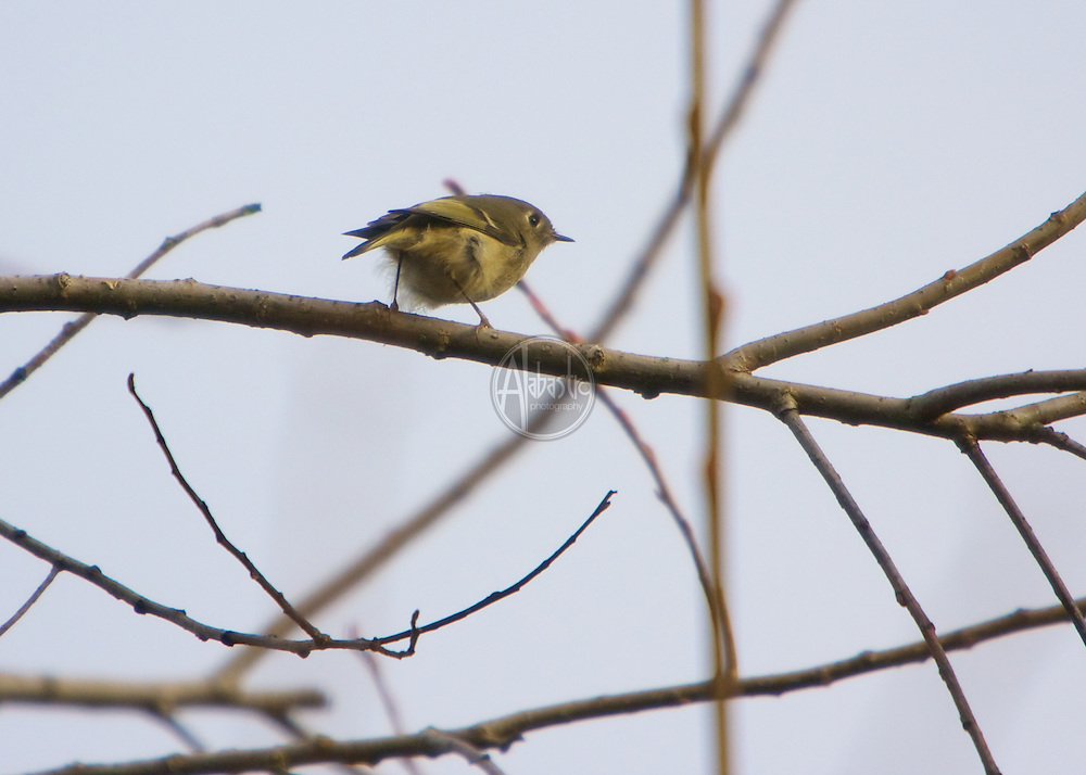 Ruby Crowned Kinglet at Portage Bay Reclamation Area, Jan 2013.