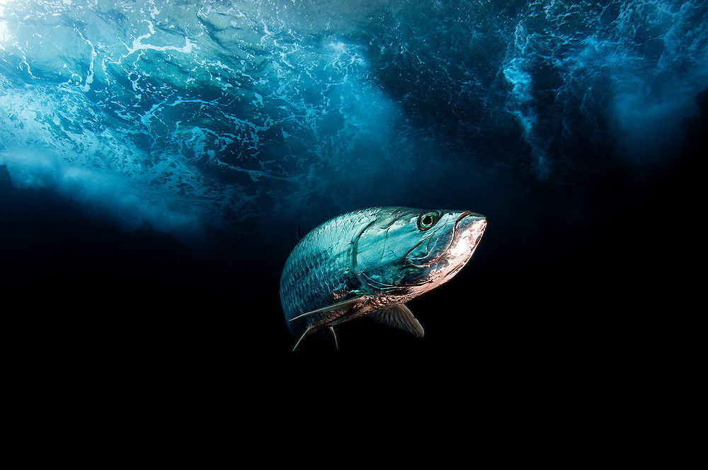 The two meter long tarpon is a popular game fish known for their high flying leaps while on hook and line. This image was made in a cavern on Eleuthera Island, Bahamas where huge swells would crash in and, seasonally, would fill with baitfish for these large predators.