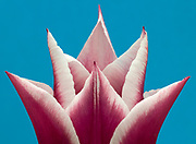 Close up abstract pattern of a single pink and white tulip flower set against a blue background in a Norfolk garden