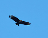 Black Vulture (Coragyps atratus). Image taken with a Nikon D2xs camera and 80-400 mm VR lens.
