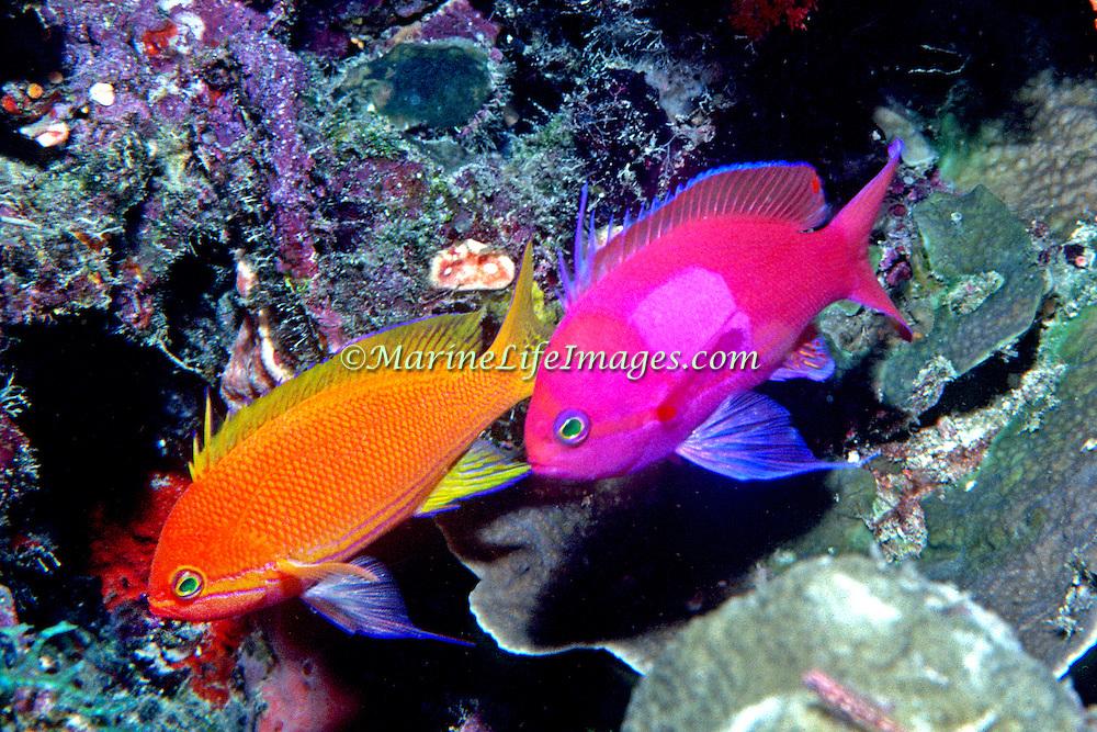 Squarespot Anthias inhabit reefs. Picture taken Raja Ampat, Indonesia.