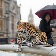 London,England,UK. 8th March 2017. Leopard Loose in London World's first animatronic leopard to join Trafalgar Square lions Stunt to mark Big Cat Week 2017,London,UK. by See Li