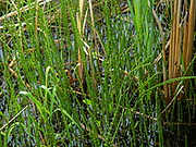 Horsetails (Equisetum spp.) and Cattails growing in the University of Wisconsin Arboretum, Madison, Wisconsin, USA.