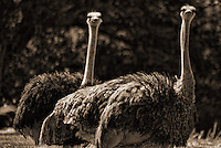 Ostriches / Woodland Park Zoo, Seattle