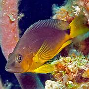Tan Hamlet inhabit reefs in Tropical West Atlantic; picture taken Grand Turk.