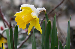 © Licensed to London News Pictures 07/02/2021.        Orpington, UK. A yellow Spring Daffodil blooming early in the wintery snow in Orpington, South East London. Photo credit:Grant Falvey/LNP