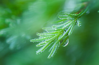 Spruce Needles with morning dew