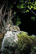 A bushy-tailed woodrat (Neotoma cinera) at night in Camp Creek Canyon in The Natuer Conservancy's Zumwalt Prairie Perserve. NE Oregon.