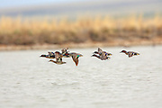 Greenwing Teal Courtship Flight