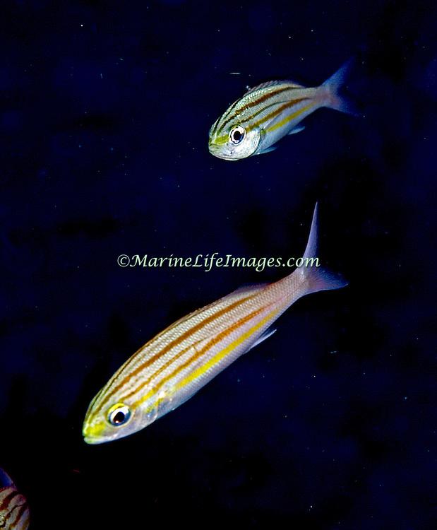Striped Grunt inhabit deep reefs in Tropical West Atlantic; picture taken St. Vincent.
