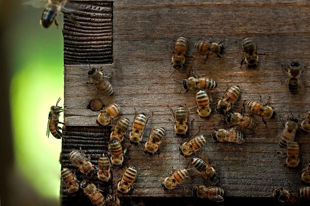 Citizen scientist honey bee hive, Houston, Texas
