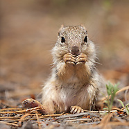 ROCK SQUIRREL IN THE FOREST
