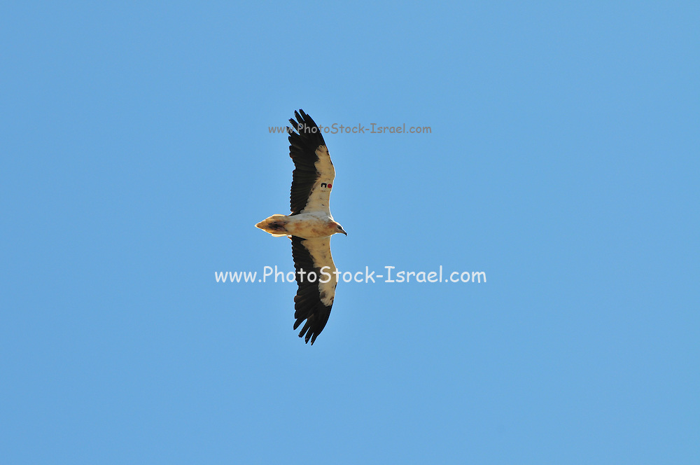Egyptian vulture (Neophron percnopterus) in flight . This vulture is native to the Mediterranean, Turkey, parts of Africa and parts of India. At less than 60 centimetres in length it is small, but is well known due to its habit of using stones as tools to break open ostrich eggs. Its main food supply however is waste and refuse, which it often finds around human habitation. Photographed in Israel in September