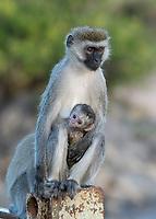 A female Black-faced Vervet Monkey, Chlorocebus pygerythrus, carries her infant in Maasai Mara National Reserve, Kenya