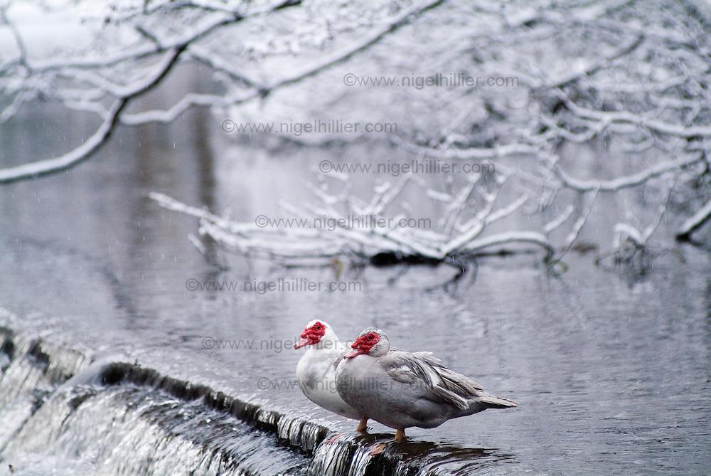Muscovy ducks in the snow, hebden bridge