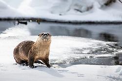 Otter closeup, winter in Yellowstone