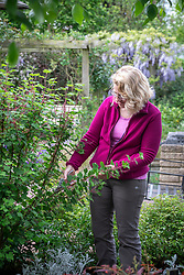 Pruning a spring flowering shrub with secateurs after it has finished flowering. Cutting back flowered shoots to strong growth. Ribes sanguineum - Flowering currant, Redflower currant.