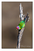 Male of plum-headed parakeet from Pench National Park, India. Nikon D500, 600mm (900mm in full frame), f4, 1/4000sec, ISO320, Aperture priority, Heavy cropping