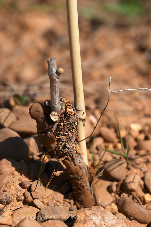albarin sandy gravelly soil newly planted Bodegas Margon , DO Tierra de Leon , Pajares de los Oteros spain castile and leon