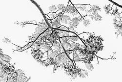 Royal Poinciana Tree Delonix Regia #9