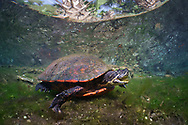 Florida Red-bellied Cooter<br /> <br /> Isaac Szabo/Engbretson Underwater Photography