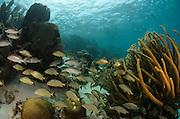 Mahogany Snapper (Lutjanus mahogany) & Bluestriped Grunt (Haemulon sciurus)<br /> Hol Chan Marine Reserve<br /> near Ambergris Caye and Caye Caulker<br /> Belize<br /> Central America