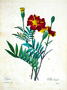 19th-century hand painted Engraving illustration of a Tagetes patula, the French marigold flower, by Pierre-Joseph Redoute. Published in Choix Des Plus Belles Fleurs, Paris (1827). by Redouté, Pierre Joseph, 1759-1840.; Chapuis, Jean Baptiste.; Ernest Panckoucke.; Langois, Dr.; Bessin, R.; Victor, fl. ca. 1820-1850.