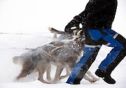 A dog musher leads his Alaskan Huskies through deep snow in Kirkeness, Finnmark region in northern Norway