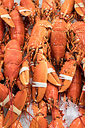 Fresh European Lobsters, Homarus gammarus, with claws clamped by elastic band on sale at St Helier Fish Market in Jersey, Channel Isles