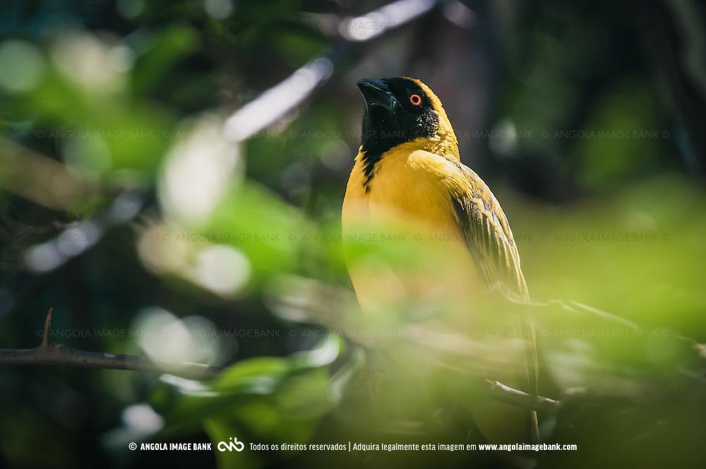 Tecelão, Tecelão-de-máscara, Tecelão-de-máscara-setentrional (Lat.: Ploceus velatus). Bengo, Angola