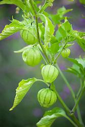 Cape gooseberry - Physalis peruviana. Inca berry, Aztec berry, Golden berry, Giant ground cherry, African ground cherry, Peruvian groundcherry, Peruvian cherry