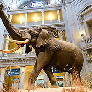 Smithsonian National Museum of Natural History Elephant. The elephant on display in the center of the main atrium of the Smithsonian National Museum of Natural History in Washington DC.