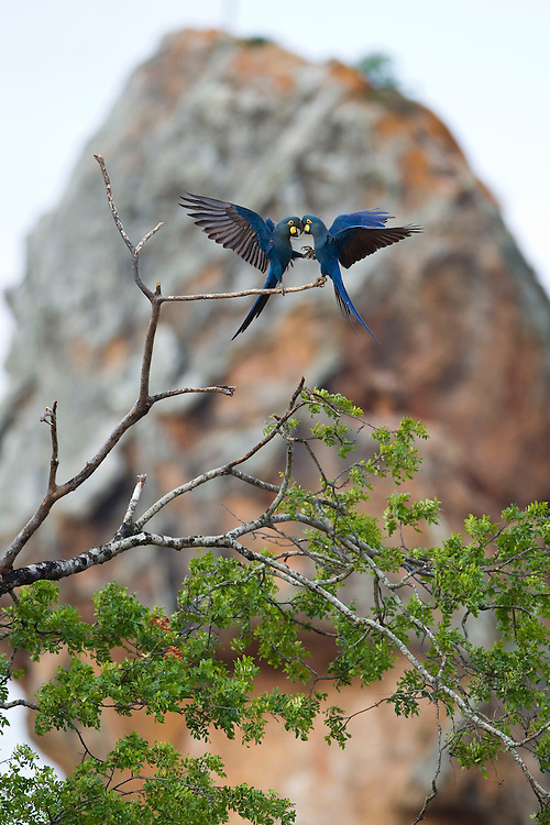 Jeremoabo_BA, Brazil.<br /> <br /> Fazenda Serra Branca em Jeremoabo, Bahia e um dos principais dormitorios e sitios de reproducao da  Arara-azul-de-lear (Anodorhynchus leari) no bioma caatinga.<br /> <br /> Serra Branca farm in Jeremoabo, Bahia, Brazil is one of the reproduction sites of Lear's Macaw (Anodorhynchus leari) in caatinga biome.<br /> <br /> Foto: JOAO MARCOS ROSA / NITRO