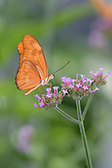 Butterfly, Longwing, Dryas iulia, Julia Heliconian, Nectaring On Brazilian Verbena