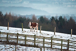 © Licensed to London News Pictures. 29/12/2014. Cheshire, UK A cow stands in a field. Frosty and cold weather near Tarporley in Cheshire this morning 29th December 2014. The UK experienced one of the coldest nights this year. . Photo credit : Stephen Simpson/LNP
